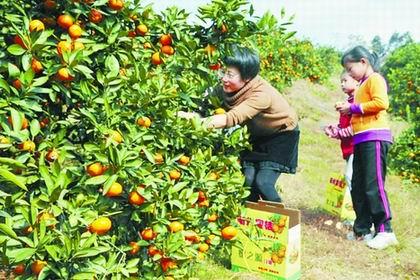 蜜橘每斤24元仍供不应求